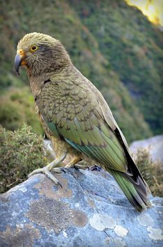 Kea (Nestor notabilis) A juvenile bird on a rock Exotic Birds, Colorful Birds, Beautiful Birds, Animals Beautiful, Parrot Pet, Parrot Bird, Animal Sketches, Big Bird, Birds Of Prey