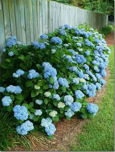 Blue hydrangea border-love this...reminds me of all the beautiful landscaping in LBI :)