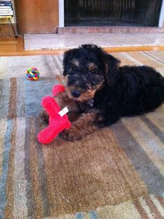 My puppy at 9 weeks old. Jarvis the Airedale Terrier. Aww!!!!