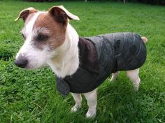 A lovely Jack Russell sporting the Barbour Quilted Dog Coat.