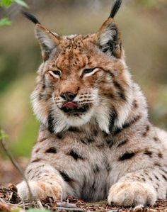 Fotostrecke: Die Rückkehr von Wolf, Luchs und Biber