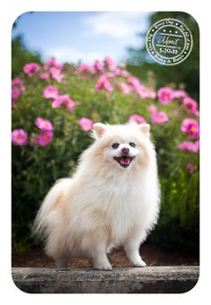 Monet - May 30 - Pomeranian currently battling canine cancer. Help fight canine cancer with Lick. Slobber. Drool.