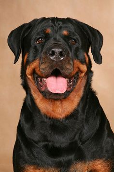 Rottweiler look at that face. I had a male who was the best guardian dog for my goats, and he loved all baby animals----so true, my rottie was so gentle with baby animals...birds, ducks, kittens, tiny puppies, squirrels, and whatever else I brought home to raise. Can't raise baby animals anymore but my rottie is stil with me.