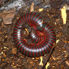 What are some millipede facts?