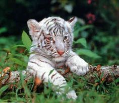 The tiger is  my favourite feline...