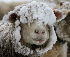 Snowy sheep via Ibex Outdoor Clothing Farm Animals, Cute Animals, Funny Animals, Baa Baa Black Sheep, Counting Sheep, Sheep And Lamb, Winter Beauty, All Gods Creatures, Belle Photo