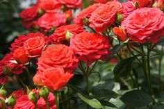 Growing roses isn't as difficult as it seems. Follow these simple tips on how to plant roses and enjoy a gorgeous rose garden this year.