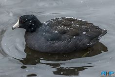 https://flic.kr/p/CvsB5N | American Coot Winter 2   - Best viewed Large at http://www.flickr.com/photos/sizzler68/ - © Rodney Hickey Photography 2015