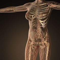 Human limphatic system with bones in transparent body - Stock Photo Muscle Anatomy, Body Anatomy, Anatomy Study, Systems Art, Body Systems, Lymphatic Drainage Massage, Human Anatomy And Physiology, Lymphatic System, Hormone Balancing