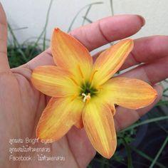 บัวดินลูกผสมไม้หัวดอกสวย #บัวดิน #ไม้หัวดอกสวย #ขายบัวดิน