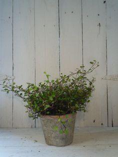 Muehlenbeckia In Terracotta
