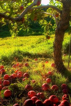 Orchard I would Love to have an apple tree in my future backyard someday!I would Love to have an apple tree in my future backyard someday! Tree Photography, Down On The Farm, Apple Tree, Fruit Trees, Fruit Fruit, Apple Fruit, Farm Life, Belle Photo, Mother Nature