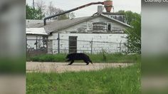Video: Police telling residents to keep eyes peeled for roaming black bear