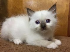 Welcome to Genotype Cats - Ragdoll Cats Ragdoll Cats, Shop, Animals, Animaux, Animal, Animales, Store, Animais