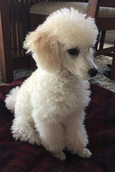 The traits I enjoy about the Eager Poodle Pup Perros French Poodle, Small Poodle, White Toy Poodle, French Dogs, French Poodles, Poodle Cuts, Poodle Grooming, Dog Grooming, Dog Life