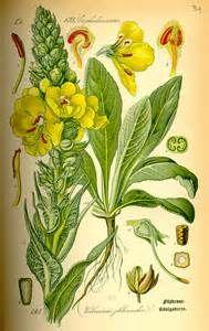 antique botanical prints mullen - Bing Images