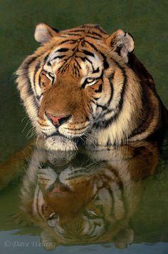 Siberian tiger,panthera tigris altaicia rests...