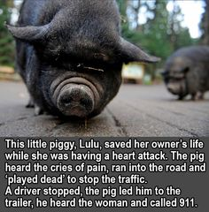 This is so cool I hope it's a true story.  Pigs are very smart so it's quite possible.