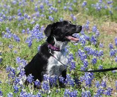 Meet Lucky, an adopted Australian Cattle Dog / Blue Heeler & Border Collie Mix Dog, from Helotes Humane Society in Helotes, TX on Petfinder. Learn more about Lucky today. Border Collie Mix, Mixed Babies, Australian Cattle Dog, Humane Society, Cats And Kittens, Adoption, Puppies, Female, Pets
