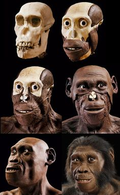 Australopithecus sediba - - reconstruction by John Gurche Theory Of Evolution, Human Evolution, Forensic Anthropology, Biological Anthropology, Forensic Facial Reconstruction, Early Humans, Extinct Animals, Prehistoric Creatures, Animals Images