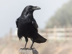 Visit from a Raven - Corvus corax | Flickr - Photo Sharing!
