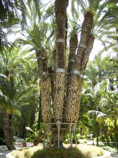 PALMERA IMPERIAL ELCHE Alicante Spain