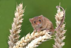 Harvest mouse BW0Q6987 | Flickr - Photo Sharing!