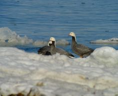 When you've got some Emperor Geese on an ice floe you don't really need a caption.    Digiscoped w/ a Leica D-Lux 5 camera through a Leica APO Televid 65 scope - Doug https://www.facebook.com/photo.php?fbid=464195073608870=a.464194920275552.120706.355103211184724=3