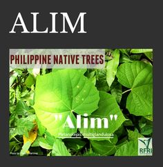 """ALIM (Melanolepis multiglandulosa) Aside from having a lot of medicinal values, this fast-growing native tree is also favoured by birds! """"Protect our trees, our forests- our source of life!"""" Source: Philippine Native Trees Close and Personal Trees To Plant, Plant Leaves, All About Plants, Forest Plants, Wood Tree, Flowering Trees, Fast Growing, Forests, Landscape Architecture"""