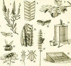 1960 grape phylloxera vintage agricultural pest print insect print entomology natural history. Black Bedroom Furniture Sets. Home Design Ideas