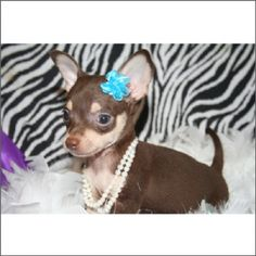 Chihuahuas are excellent pets, but a dog owner must bear in mind that the Chihuahua lifespan is shorter compared to human lifespan. That said it is important that the owner to make sure that his/her Chihuahua has a long and happy life. Teacup Chihuahua Puppies, Cute Chihuahua, Kittens And Puppies, Cats And Kittens, Cute Little Dogs, Cute Little Animals, I Love Dogs, Cute Dogs, Chi Dog