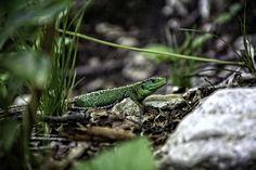 lizard by Dario Šebek on 500px