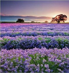 Lavender Fields in Central Texas