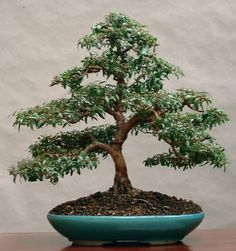 acer monspessulanum felsen ahorn bonsai in frei aufrechter form bonsai gestaltung pflege. Black Bedroom Furniture Sets. Home Design Ideas