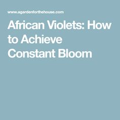 African Violets: How to Achieve Constant Bloom