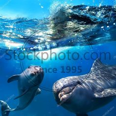 two funny dolphins smiling underwater very close the camera Funny Dolphin, Royalty Free Photos, High Quality Images, Dolphins, Underwater, Whale, Stock Photos, Illustration, Animals