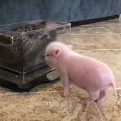 Slap the pig - your daily dose of funny cats - cute kittens - pet memes - pets in clothes - kitty breeds - sweet animal pictures - perfect photos for cat moms Cute Little Animals, Cute Funny Animals, Funny Cats, Cute Dogs, Cute Animal Videos, Cute Animal Pictures, Cute Piglets, Baby Pigs, Baby Goats