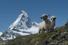Possibly encountered along the way: Valais Blacknose sheep
