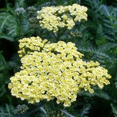 Buy Achillea Sunny Seduction Perennial Plants Online. Garden Crossings Online Garden Center offers a large selection of Yarrow Plants. Shop our Online Perennial catalog today!