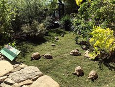 The calm after the storm. Finally some sun in California after some record rain! Our Burmese star tortoises are right at home in both though, since monsoons are a regular thing in their native #Myanmar. #turtletuesday #tuesday