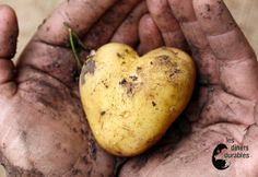 Pomme de terre d'amour