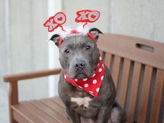 CHEECH aka CHECH aka DRE aka SPIDEY - A1031260  (ALT ID A1081317) - - Brooklyn  TO BE DESTROYED 02/09/17: ****PUBLICLY ADOPTABLE**** A staff member writes: Cheech is amazing. He is very energetic and strong. He's playful, loving, gives kisses and can catch treats mid air. He always keeps a clean cage and waits to go for a walk to use the bathroom . He loves seeking attention from people sometimes hes also very fashionable. You will never go bored with this cute fella