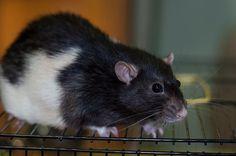 https://vk.com/fondhelprats  #cute #rat #petrats #питер #спб #хочудомой #помощь #крыса #крысы #животные #фото #фпбк