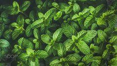Fresh green pepper mint leaves texture, background or wallpaper - Fresh green pepper mint leaves texture, background and wallpaper, horizontal composition