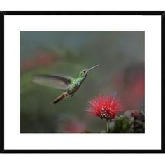 Global Gallery Rufous-Tailed Hummingbird at Fairy Duster Flower, Costa Rica by Tim Fitzharris Framed Photographic Print Size: