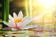 ❀◕ ‿ ◕❀ National Flowers: ดอกบัว (Lotus) for The Socialist Republic of Vietnam Lotus Flower Wallpaper, Lily Wallpaper, Flower Backgrounds, Lotus Flowers, Lotus Blossoms, Digital Backgrounds, Wallpaper Ideas, Osho, Carrie