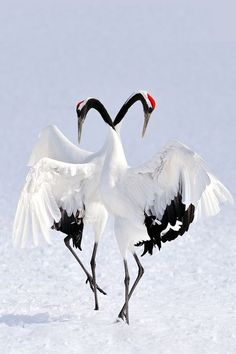 Birds | Japanese Red-Crowned Crane, Grus Japonensis, Hokkaido, Japan