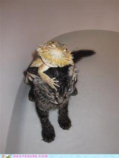 The cuteness.  It kills me.  Much like that kitten is about to kill that lizard.