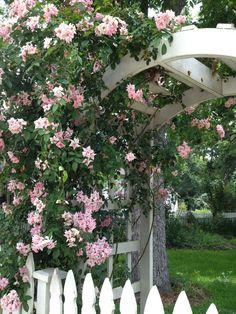 antique rose emporium texas brenham | Antique Roses