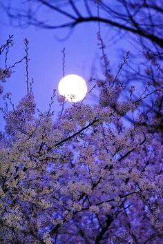 fuji cherry blossoms